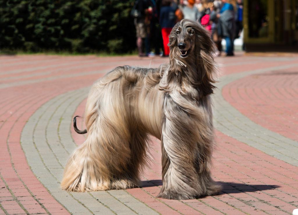 afghanischer windhund im park