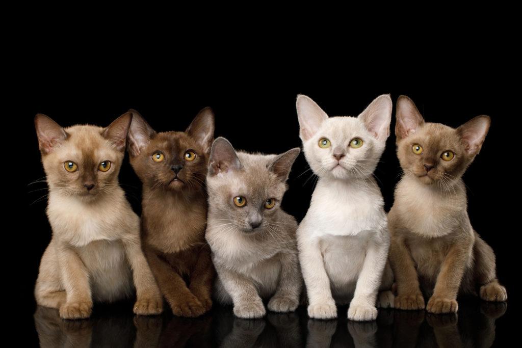 burma kätzchen viele farben