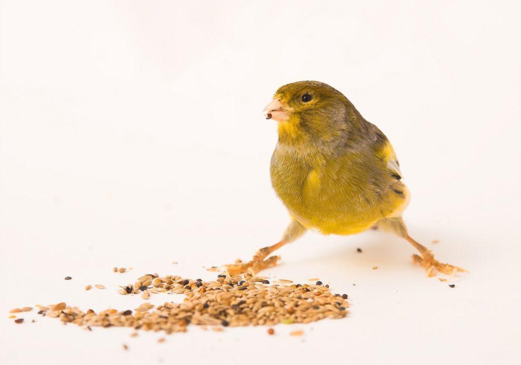 kanarienvogel ernährung