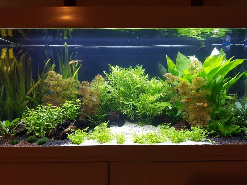 pflanzen im aquarium