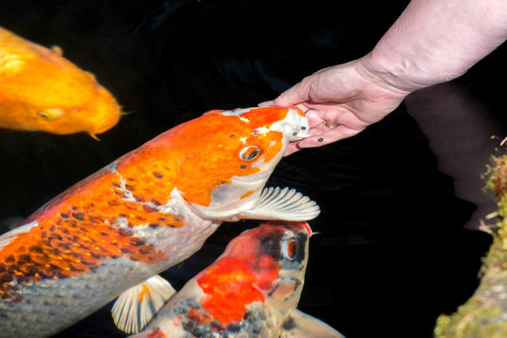 teichfische füttern