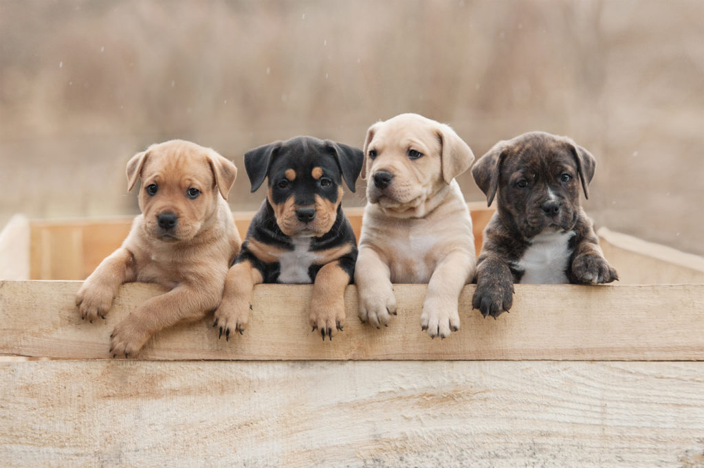 vier american staffordshire terrier Welpen