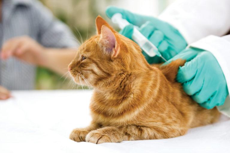 Gato deitado enquanto o veterinário administra uma injeção. As vacinas para gatos só podem ser administradas por veterinários