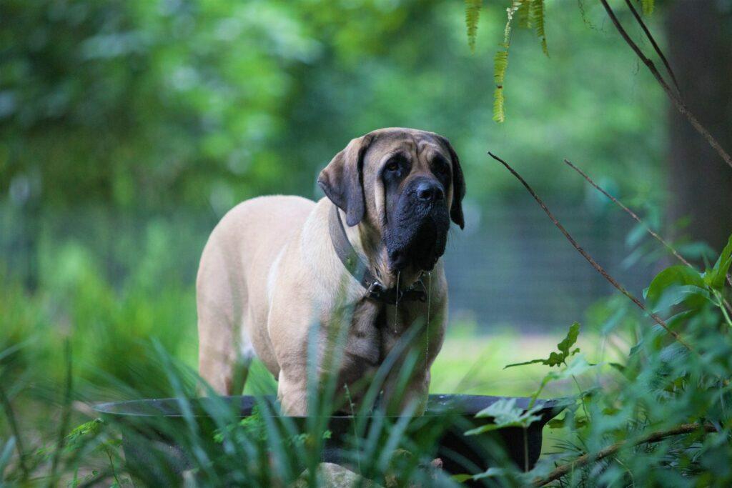Mastiff: um cão impressionante e calmo