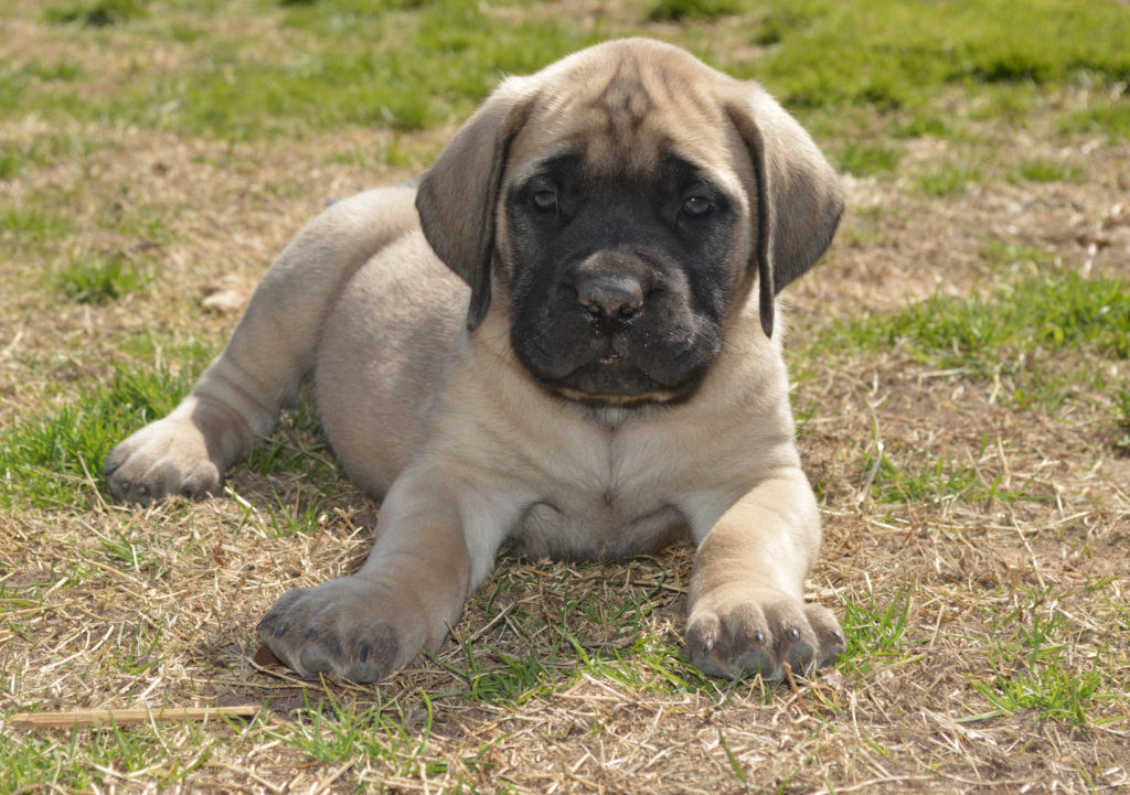 Mastiff: os cachorros precisam de uma educação consistente