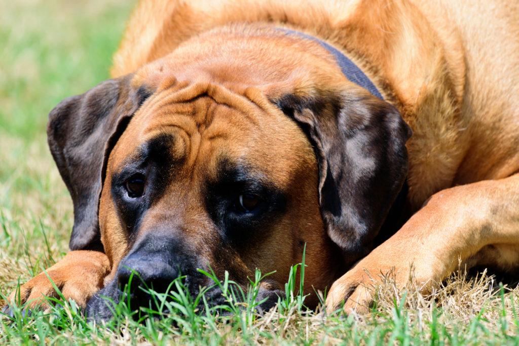 Mastiff: um cão grande e gentil