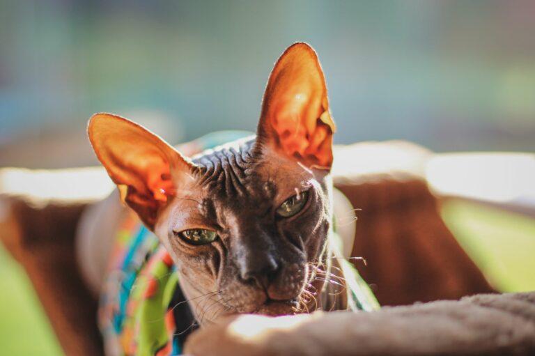 Sphynx: uma raça de gatos envolta em controvérsia