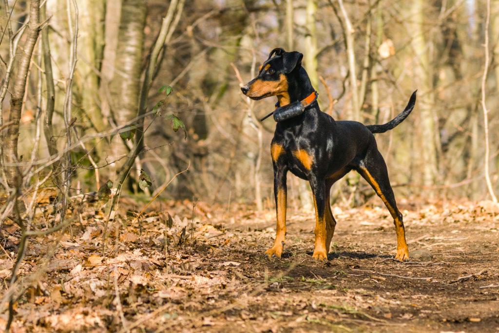 O Pinscher Alemão é um cão encantador. Inteligente e atento, também pode ser um pouco teimoso!