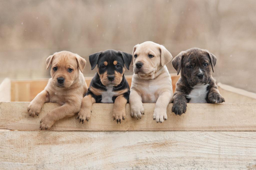American Staffordshire Terrier: uma educação consistente desde o início é essencial