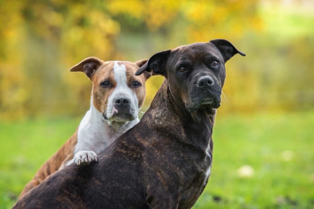 American Staffordshire Terrier: estes cães precisam de muito exercício