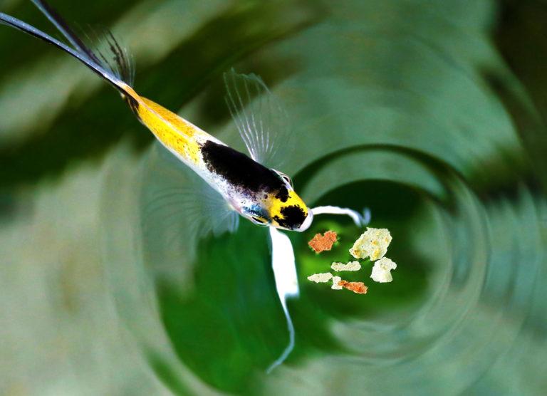 Alimentação dos peixes de aquário
