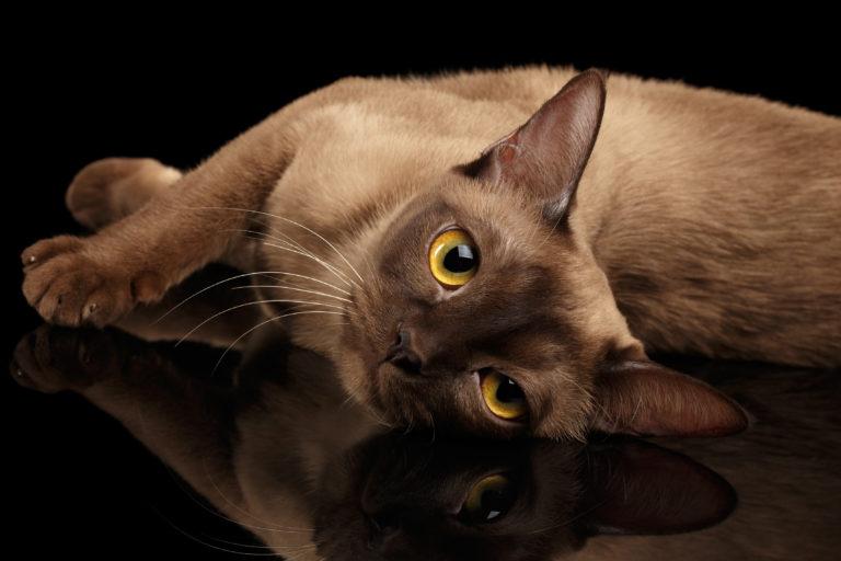 gato Burmês