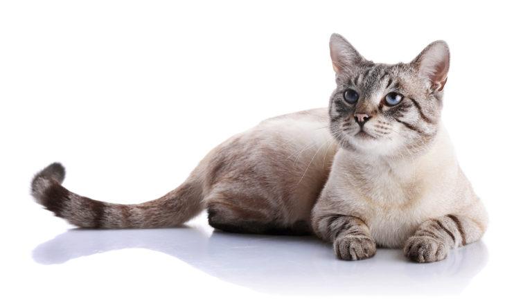 métodos anticoncetivos para gatos
