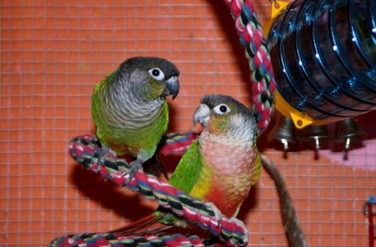 Brinquedos para papagaio