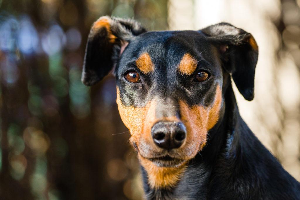 O Pinscher Alemão é uma das raças de cães mais antigas da Europa.