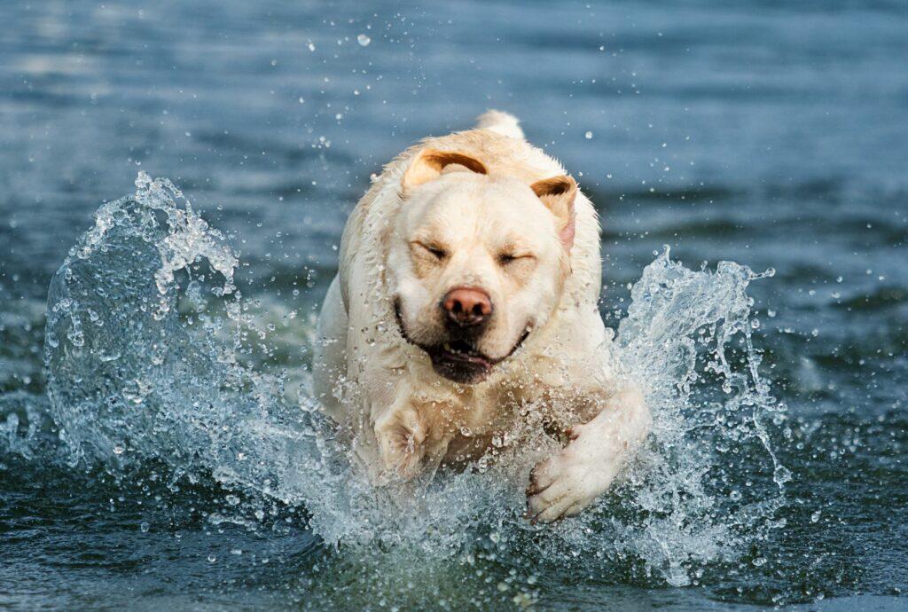 O seu cão está gordo? Exercícios físicos na água protegem as articulações, desenvolvem os músculos e mantêm a temperatura corporal estável.