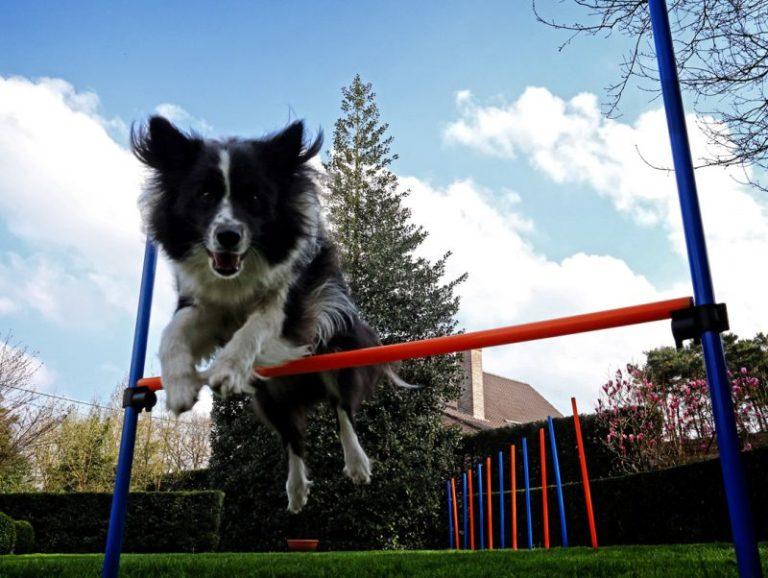 Agility para cães