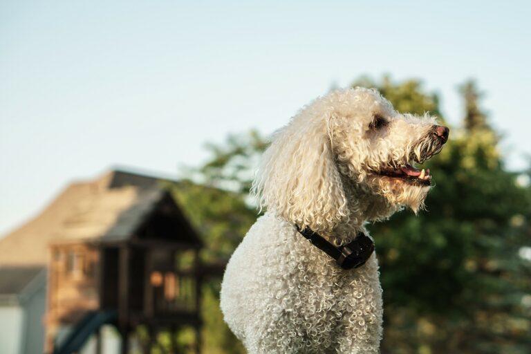 Coleiras de treino: Coleiras com controlo remoto não favorecem a aprendizagem e além disso tornam o cão mais inseguro.