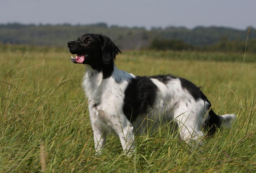 epagneul breton schwarz