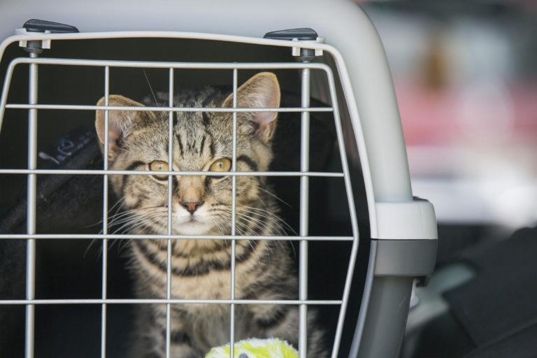 viajar de carro com gato