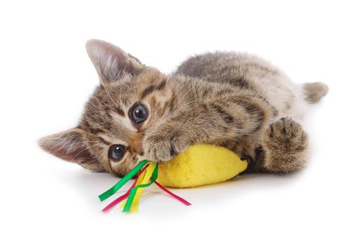 Brincadeiras com gatos domésticos