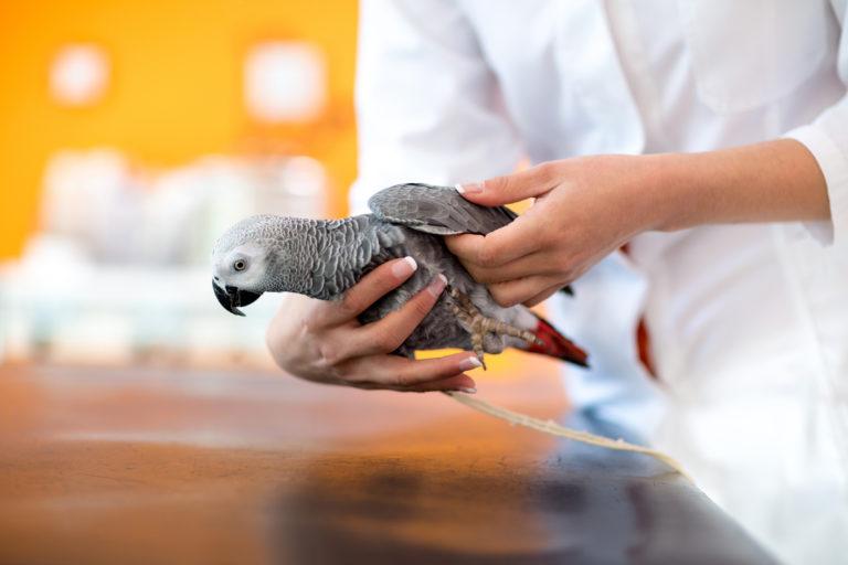 Inflamações renais nos pássaros