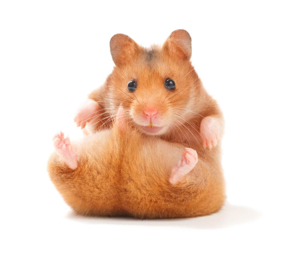süß hamster