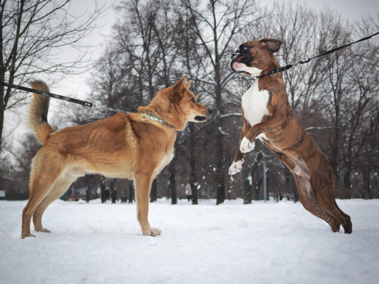 Raças de cães de luta