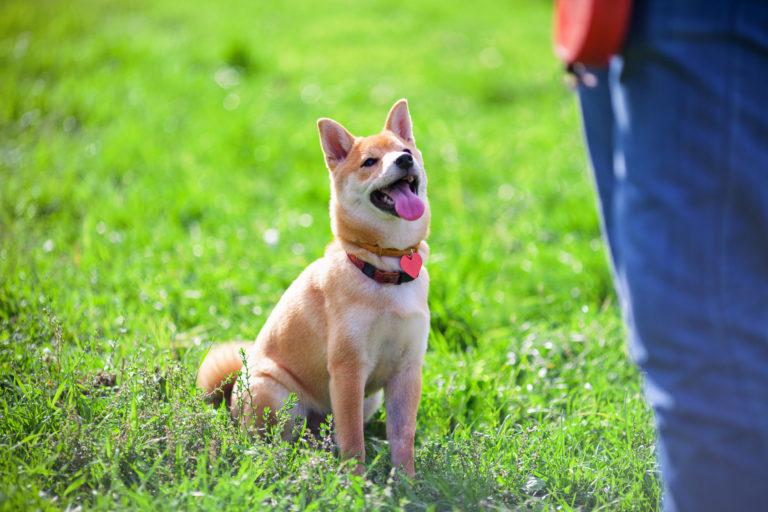 Treino de obediência para cães