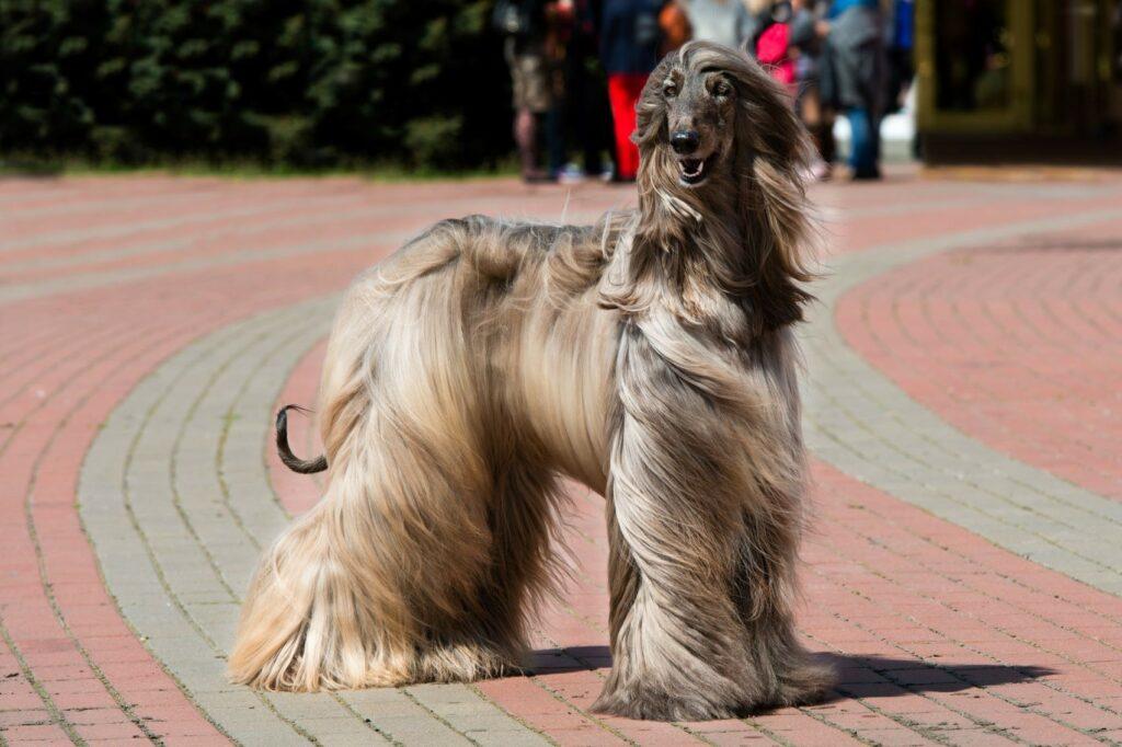 Galgo Afegão adulto com pelo comprido ao vento.