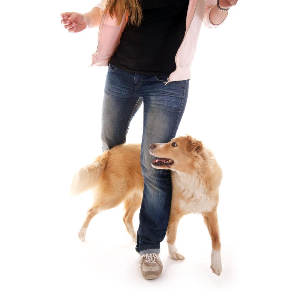 hund slalom durch die beine ist ein toller Hundetrick