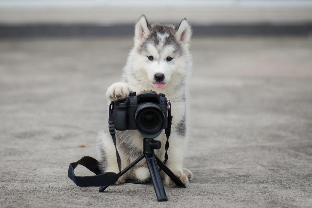 husky puppy met camera