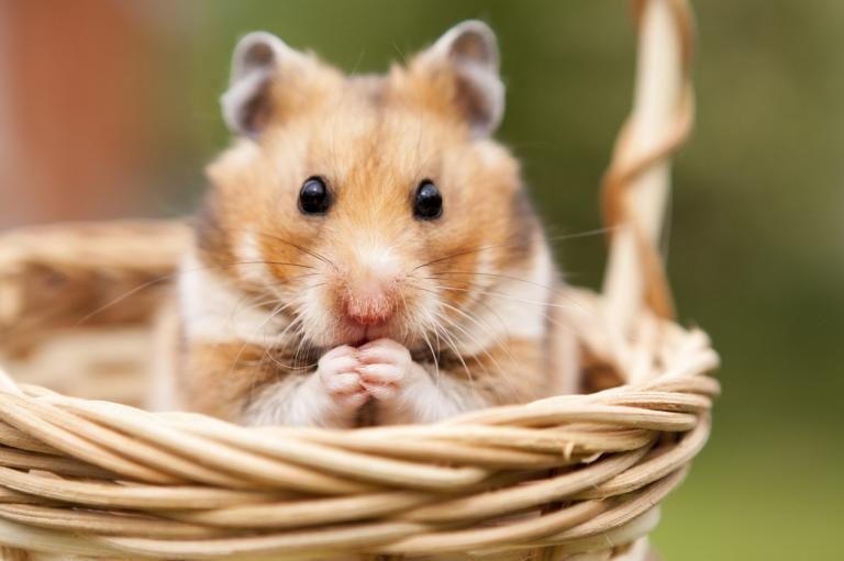 linguagem-dos-hamsters