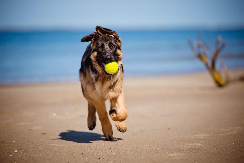 deutscher schäferhund am strand