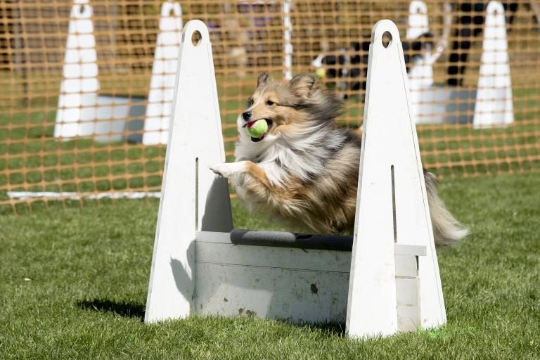 flyball-caes