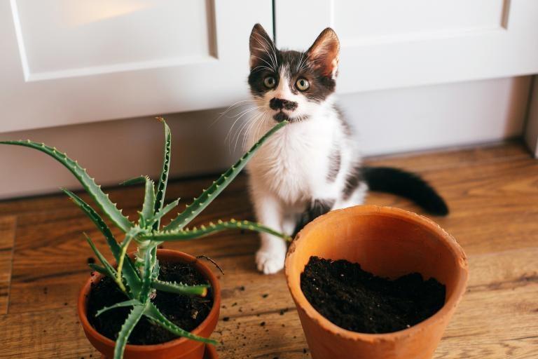 gato-urina-vasos