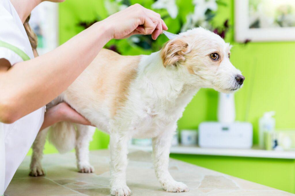 Pulgas nos cães: Uma infestação de pulgas é geralmente visível a olho nu