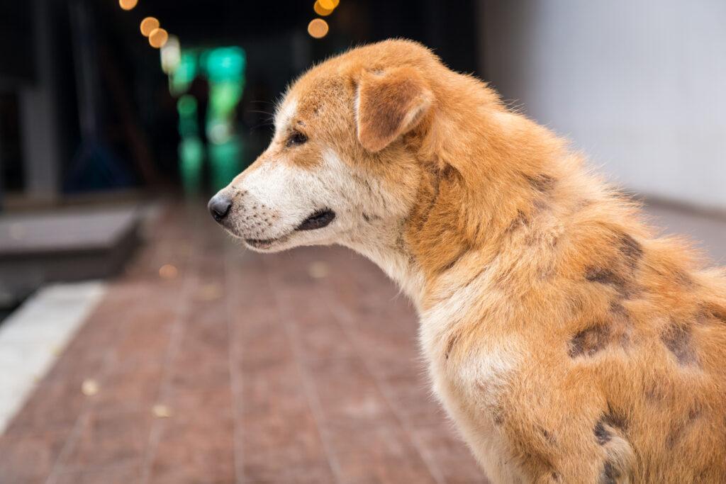 Atopische Dermatitis beim Hund