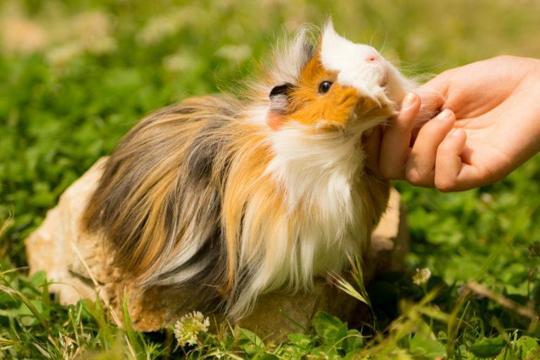 como cuidar do porquinho-da-índia