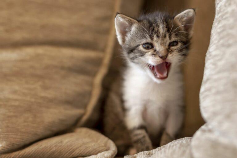 Gatinho a miar em cima do sofá. Entre outras razões, gato mia de noite por se sentir sozinho.