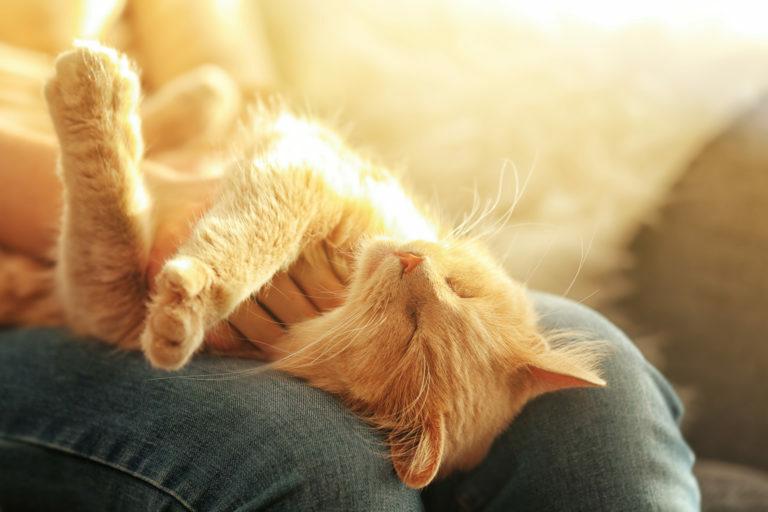 adotar gatos adultos