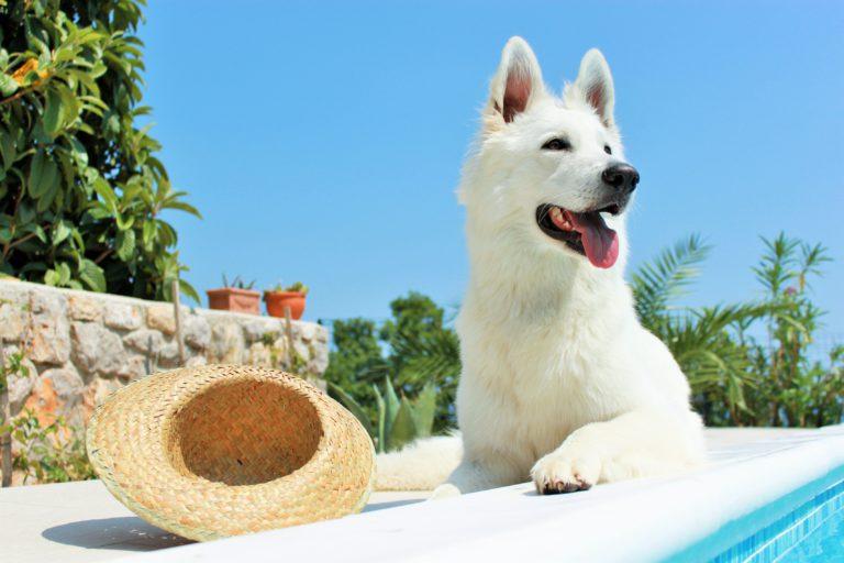 Queimaduras solares nos cães podem ser graves, por isso devemos proteger os nossos cães nos dias de sol intenso