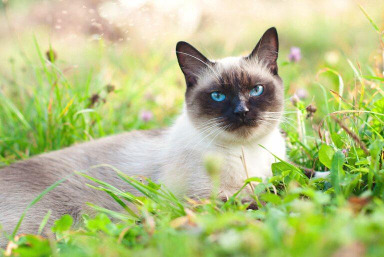 Parasitas dos gatos: com a chegada do tempo mais quente os parasitas reproduzem-se e colonizam os gatos