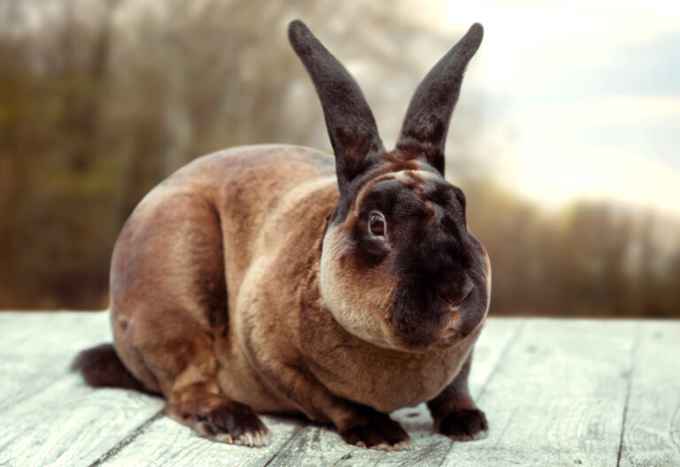 Brown rabbit on a white wooden table. Beauty shoot. Castor Rex.