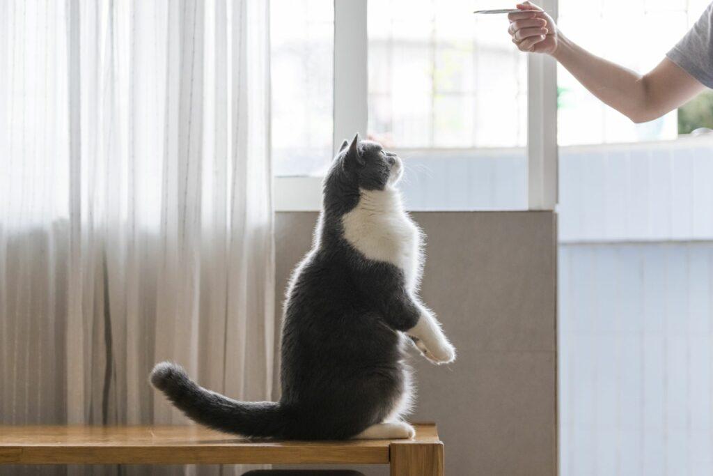 Treino com clicker para gatos: As guloseimas são excelentes recompensas para os gatos