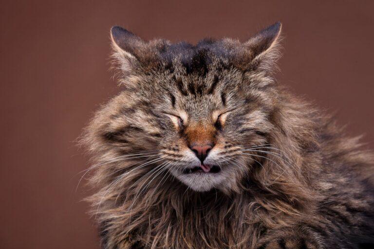 O meu gato espirra: existem várias causas para o espirrar dos gatos, a maioria é inofensiva