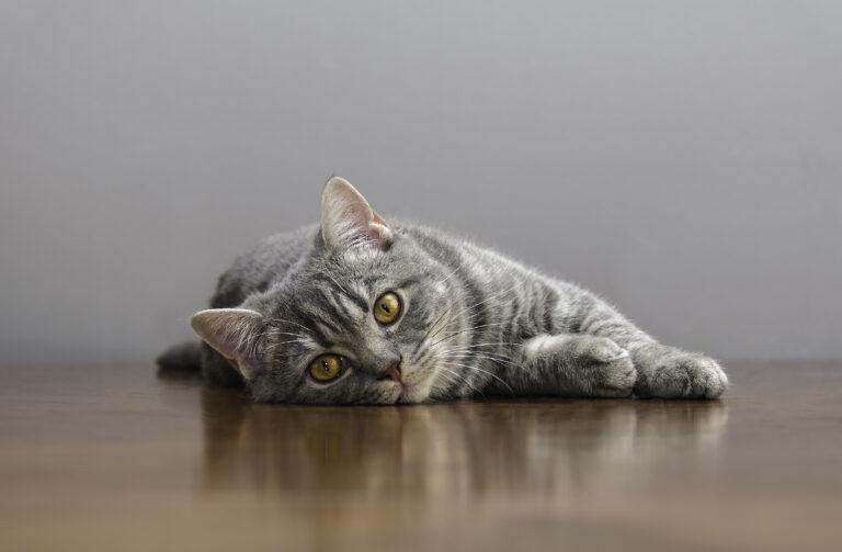 gato doente deitado numa mesa