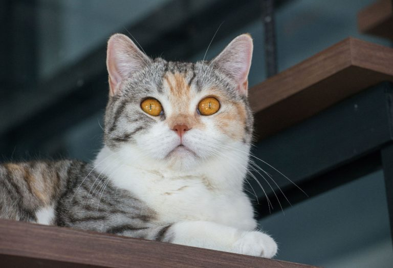 The American wirehair cat.