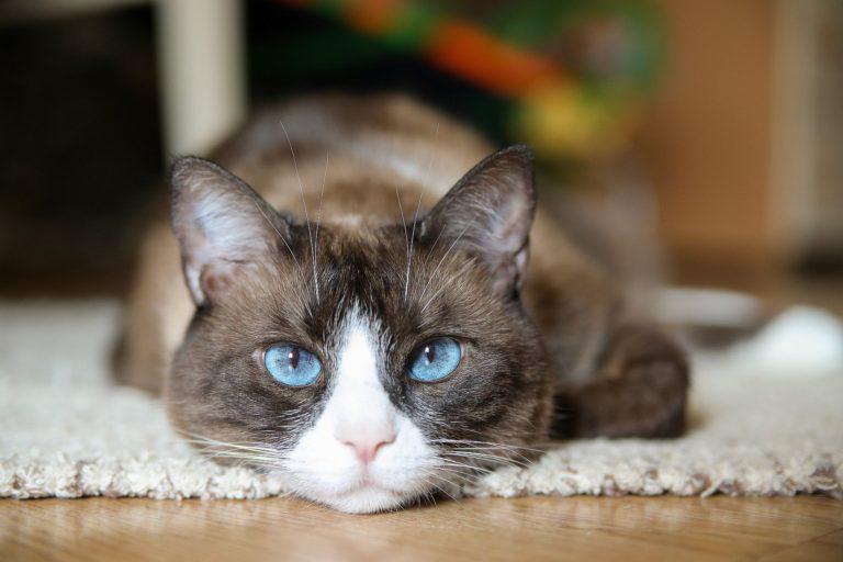 snowshoe gato doméstico