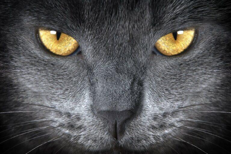 Olhos de um British Shorthair